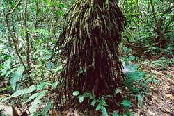 Amazon palmskirt